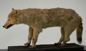 ニホンオオカミ」東京大学総合研究資料館のwebsite
